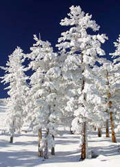 puffy snow trees